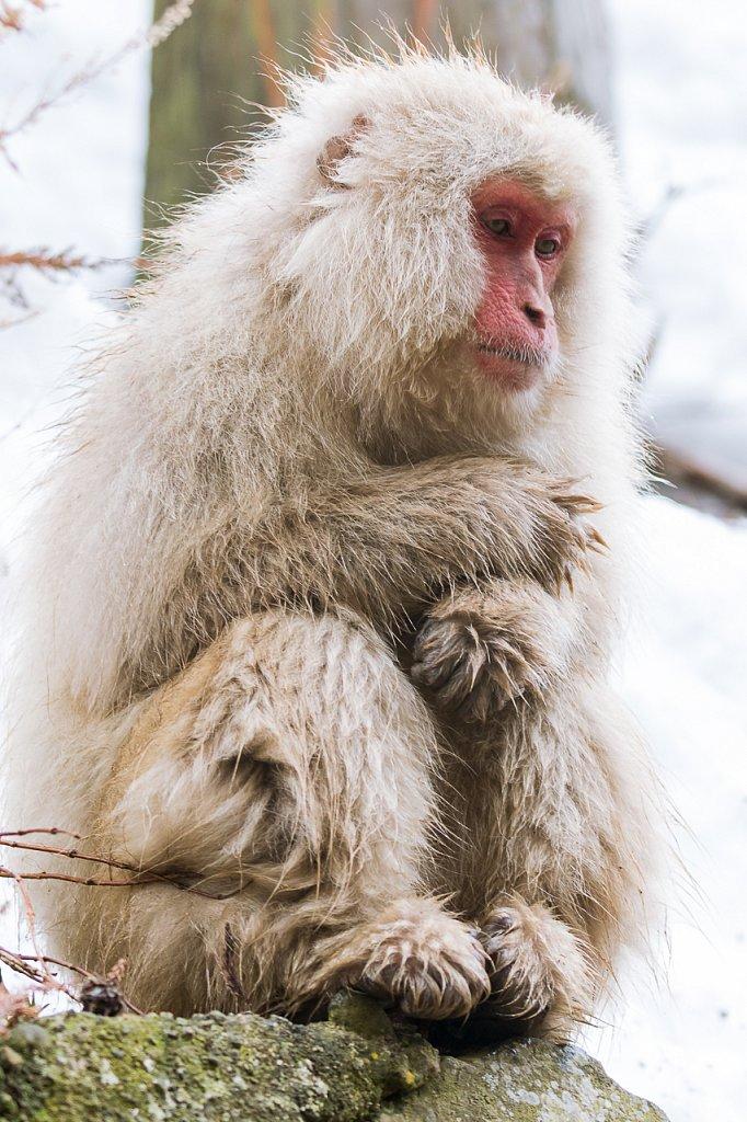 Snow Monkey, Nagano