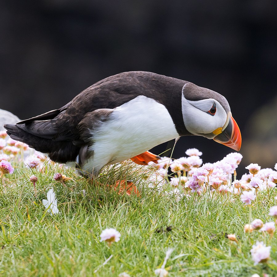 Papageientaucher ∙ Puffin